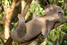 Śpioch koala <3