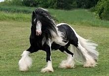 Gypsy Vanner Horse :)