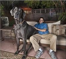 Największy pies  George ma cztery lata i mieszka w Arizonie. To pies gigant od łapy do kłębu mierzy niemal 110 cm, od nosa po czubek ogona 210 cm i waży 111 kg. Ogromny pies ma ...
