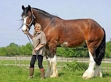 Największy koń  Poe 10-letni szkocki ogier jest najwyższym koniem na świecie, mierzy 205 cm. Co dzień pożera niemal 5 kg zboża i wypija 30 litrów wody