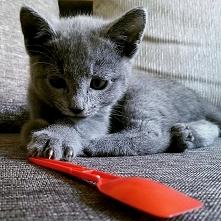 Kot Rosyjski - Lilianna (2 miesiące)