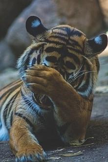 slodki ! kocham tygryski ♡