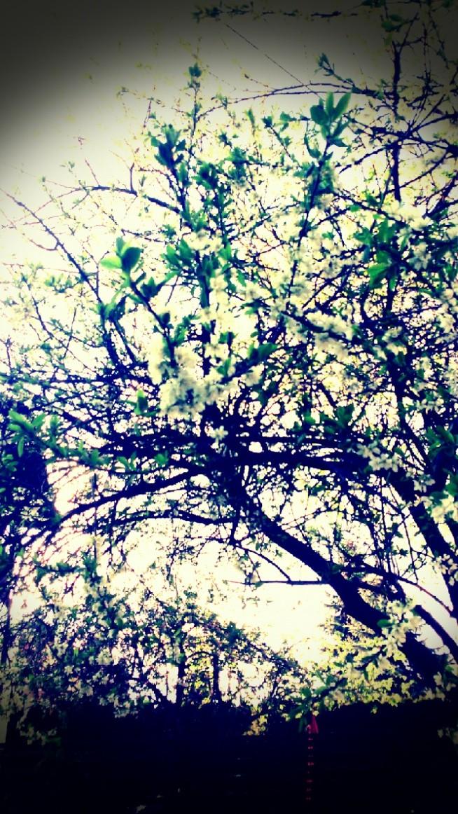 Sama zrobiłam zdjęcie  ♥ ♥ ♥ Moja śliwa z ogodu :*