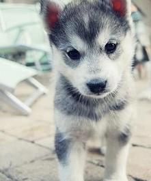 Husky ♥♥