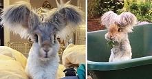 Ten króliczek z dwoma kucykami to najsłodsza rzecz, jaką w życiu widziałeś!