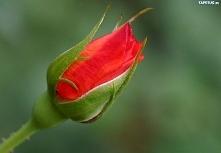 Pąk róży.