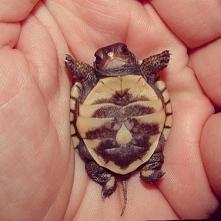 Żółwik!