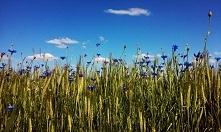 Najpiękniejsze kwiaty świata To chabry, niebieskie gwiazdki W gęstwinie płowe...