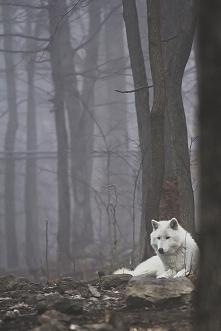 White wolf *.*