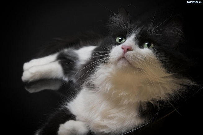 Czarno-biały kot.