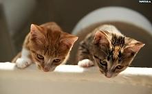 Dwa słodkie kotki.