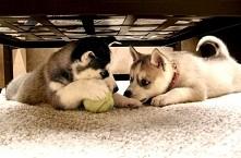 Pochwalcie się kto ma Haszczaka (lub innego psa) i jak ma na imię :) Moje mał...