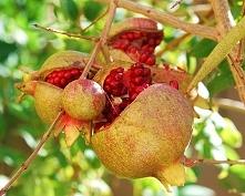 Co ciekawe, niektórzy badacze Biblii uważają, że zakazanym owocem w raju było...