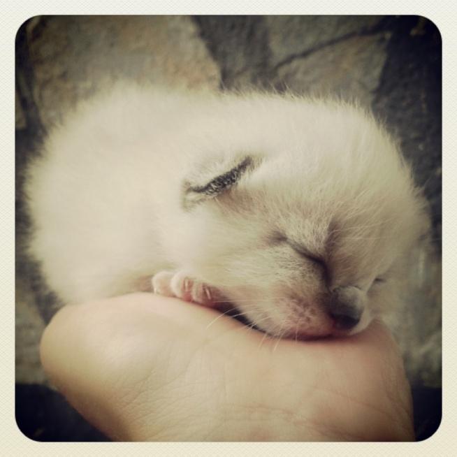 Mały kotek... Wygląda jak kulka śnieżna.
