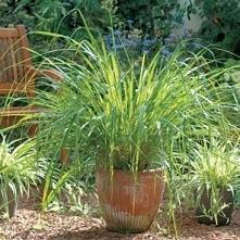 Trawa cytrynowa-Cymbopogon flexuosus, palczatka pogięta) – używana jako aromatyczny dodatek do dalekowschodnich potraw. Tak jak pozostałe rośliny wymaga słońca i wilgoci. Jej pł...