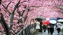 Japonia, sakura