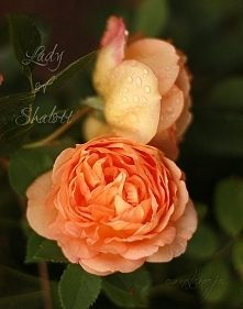 """Lady of Shalott"""
