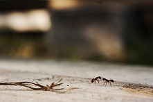 Mrówki, leniwe popołudnie:]