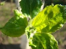 makro liście