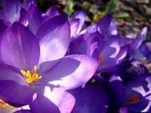 wiosna... krokusy...