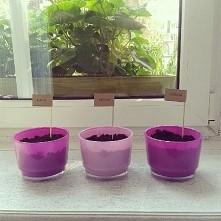 Mały ogródek na parapecie - bazylia, oregano, rzeżucha