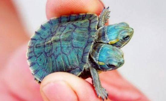Żółwie bliźniaki