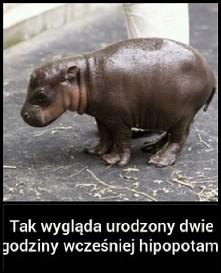Tak wygląda urodzony dwe godziny wcześniej hipopotam.