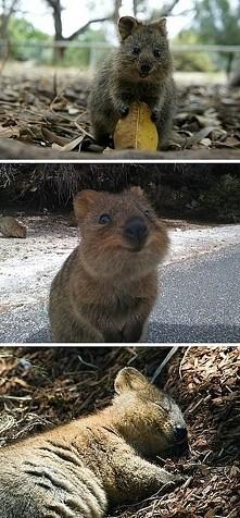 Kuoka , okrzyknięte jako naj szczęśliwisze zwierzę na ziemi! ( mieszka w Aust...