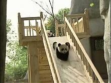 Słodkie pandy