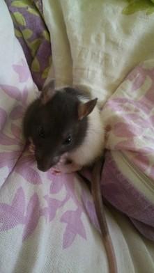 szczurek <3