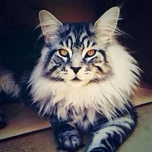 Maine Coon ❤