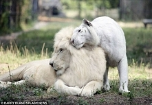 Potomkowie białego lwa i białego tygrysa. To chyba najpiękniejsze zwierzęta n...