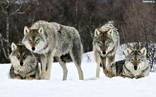 Wataha wilków.
