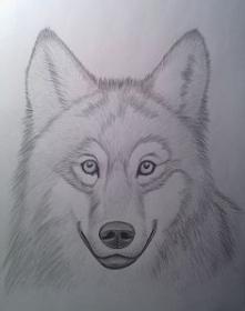 Szkic - wilk