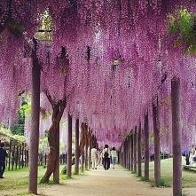 gród drzew Wisteria. w Kitakyushu, Japonia