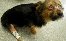 Ukradli tego szczeniaka, nafaszerowali go narkotykami i połamali mu łapy. W takim stanie zostawili go na pewną śmierć! WIĘCEJ PO KLIKNIĘCIU W OBRAZEK.