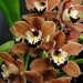 carnival orchid