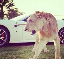 car white,  Tiger