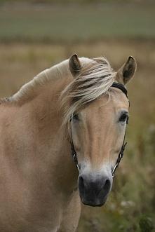 Koń rasy Norweskiej (Fiordzki)