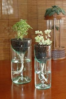 samopodlewające się rośliny...