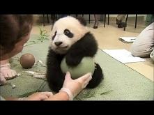 mała panda z piłką
