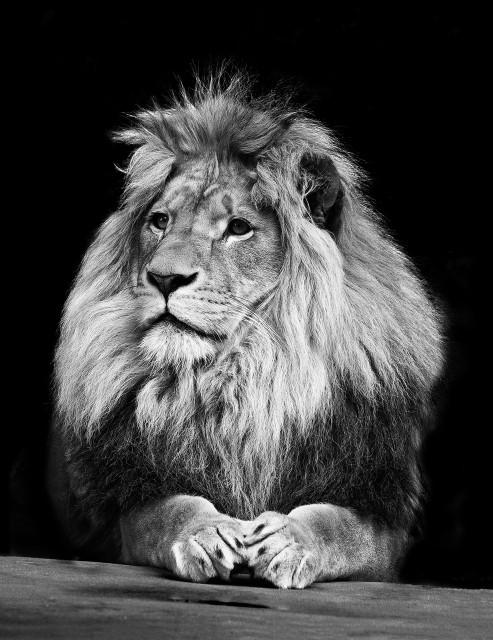 boss! #lion