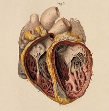 beautiful human heart
