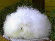 To jest królik rasy angora ^-^