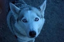 piesio;)))husky