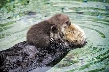 Jednodniowa wydra śpi na brzuchu pływającej matki. Te zdjęcia są tak urocze, że nie mogę przestać na nie patrzeć! WIĘCEJ PO KLIKNIĘCIU W OBRAZEK.