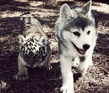 wilk + tygrys = <3