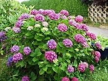 Szkodliwe dla kotów - Rośliny ogrodowe i dziko rosnące, Hydrangea sp. - horte...