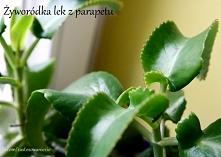 Żyworódka to piękna i jedyna w swoim rodzaju roślina doniczkowa, która jest d...