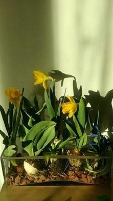rośliny cebulowe w szkle